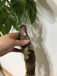 パキラが根腐れを起こし、根本近くの幹がブヨブヨしています。 この状態になると、このまま植え替えても再生の可能性は低いでしょうか?幹の部分は少し異臭がします。 葉はわりかし元気なので、挿木にした方がいいでしょうか?
