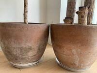観葉植物の鉢にカビ?が生えてしまいました。 去年の夏頃購入し、テラコッタ鉢に植え替えて育てていたのですが今日鉢にカビ(白いのがモケモケしてるのでおそらくカビ)が生えているのを発見しました。 1週間前は無...