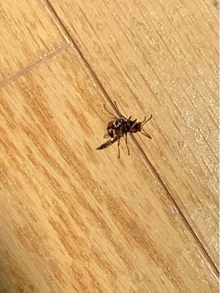 家に入ってきたのですが、この蜂はなんという蜂が分かりますかね?蜂が1匹いるということは他にも近くに何匹かいたりするのでしょうか?