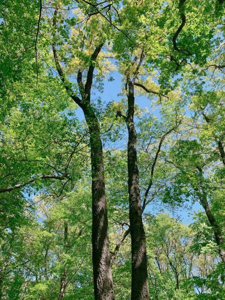 これは何の木ですか? 手前に2本あるように見えますが下の方で二股に別れてる1本の樹です