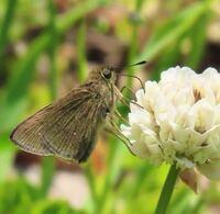 蝶の種類  写真のセセリチョウについて 種類が分かる方、ご教示ください。  本日福岡県で撮影したものです。 チャバネセセリでしょうか。