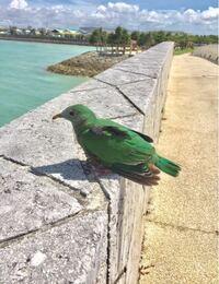 【もしかして新種?!】 この鳥は何という鳥でしょうか。 写真は沖縄に行った時に撮りました。 特徴は全体的に緑でクチバシは黄色、足はピンクか赤っぽいです。 画像は分かりやすいように明るさを最大にしています。 鳥に詳しい方、この鳥が何者なのかを教えてください!