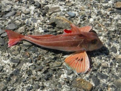 この魚はカナガシラですか、ホウボウですか。