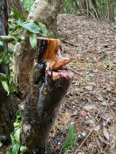 実家が所有する山林で間伐した木なのですが、何の木かわかりますか? チェーンソーで伐倒したら、白い樹液が湧き出てます。 素手で触れないようにしているのですが、今後の抜根等の作業もあり、注意点等の知識が必要です。 お力添えよろしくお願い致します。