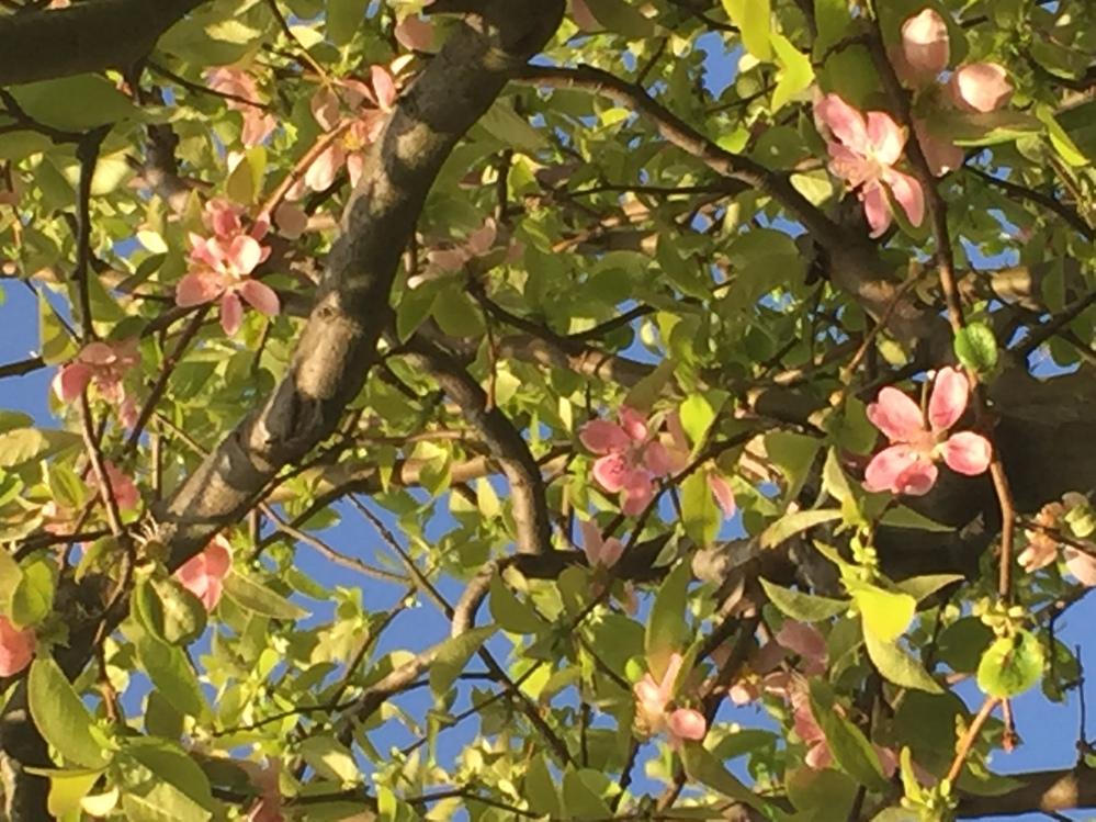 この花木の名前を教えて欲しいです。 少し前はもっと花が付いていたと思いますが ご存知の方がいらしたら教えて下さい。