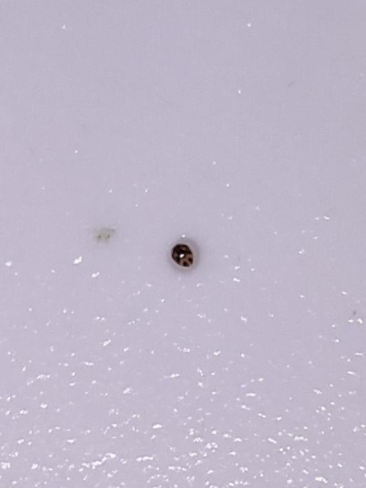 この生き物はカイミジンコですか? メダカ水槽の下のほうをスーっと泳いでいます。 大きさは1mmもないと思います。 肉眼では丸くて小さな黒いつぶという感じです。