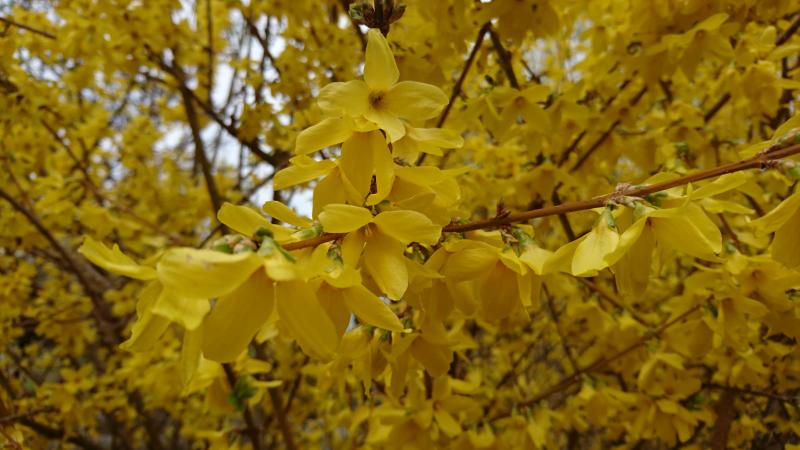 今ベルリンで咲いている黄色の花の名前を教えて下さい。宜しくお願い致します?