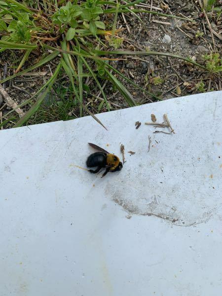 この虫は何なのでしょうか? 羽音がブンブン言ってて刺したり人に害が有るものなのでしょうか?