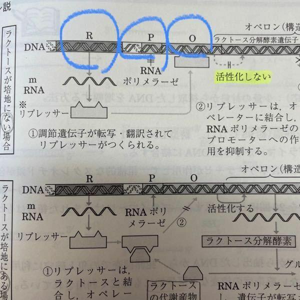 写真のRとはなんですか? また、Pはプロモーター、Oはオペレーターですよね。