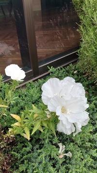 この白い花の名前を 教えて下さい。 今日 佐世保の 結婚式場のガーデンに地うえで混植されていました。 最初 トルコキキョウかしら?と 近寄ってみたら なにか 月見草の仲間のように見えました。 中のしべは レモン色、純白であさがおのような ラッパ型 花の大きさも トルコキキョウ位の大きさで 高さ35cm位。 1輪でも存在感があり、株で2~3本で見たら とてもウェディングに ふさわしい清楚できれ...