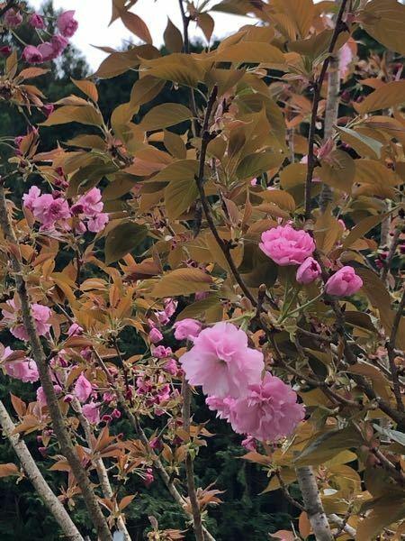 桜の品種を知りたいです。 サトザクラの品種で、 『寒山』と『楊貴妃』 似ているように見えますが、見分け方はありますか?区別つきますか?