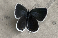 すみません、この蝶?蛾?みたいなモノの名前は何でしょうか? 御回答よろしくお願いいたします