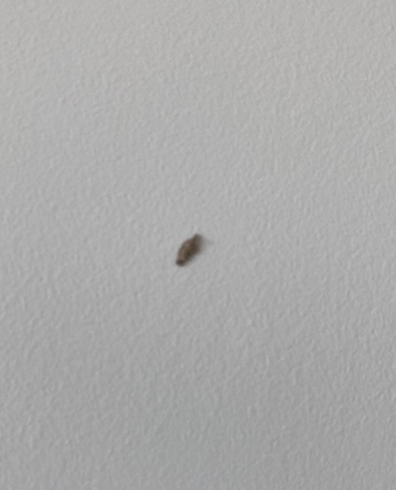 この虫は何という名前かご存知の方はいらっしゃいますか? 駆除方法は何でしょう?? シンガポールに住んでるのですが、たまに家に出ます。 葉っぱのような形で、大きさは1cmほどです。 見た目は虫ではなく、セーターの繊維をくるくる丸めたような感じです。 全然動かないのですが、たまに顔のようなものを伸ばしてむにむに動きます。 初めは壁の塗装の剥がれとか、木くずかと思ってティシュで取ろうとしても硬...