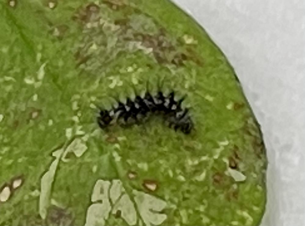 ★幼虫の種類を教えてください・早めの解答助かります!★ *注意:虫の画像あります! いつもお世話になっております。 強風になってきたので庭の鉢植えを動かしていたところ、古くなったカラスノエンドウの葉に写真のような小さな幼虫が着いていました。 3mmほどの大きさで濃いグレーのような色味で全身にチクチク毛が生えています。 カラスノエンドウの葉で見かけるのはナナホシテントウ・ヒラタアブ類・タコ...