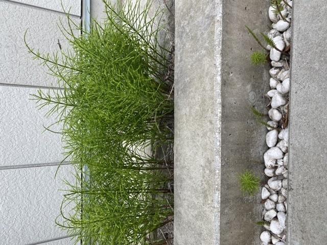 この草?植物に困っています。 隣の敷地にこの植物が大量に発生していて、自宅の敷地内まで入ってきています。 おそらく土の中から根を張り、自宅の敷地内まで入ってきていると思います。 根が深く、駆除がとても難しく、除草剤を使っても全く効果がありません。 どなたか植物の種類や名前、駆除方法をご存知であれば教えてください。