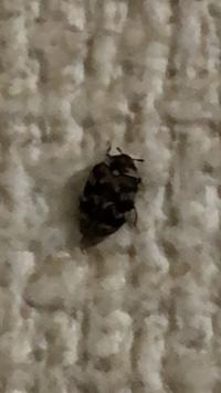 画像の虫を最近家でよく見るのですが何という名前の虫なのでしょうか? それと同時にこの虫の駆除方法やこの虫がいることによって何か被害があるのかなどわかる方がいれば教えてもらいたいです。