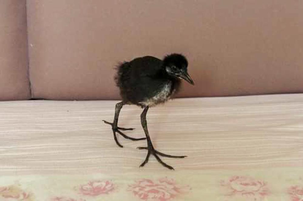 写真の鳥の種類は何ですか? 全く飛ばず、やたらと足が大きくてダチョウの様に歩いていました。
