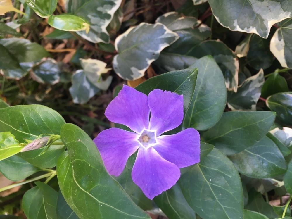 この花の名前を教えてください。ツルニチニチソウですか?