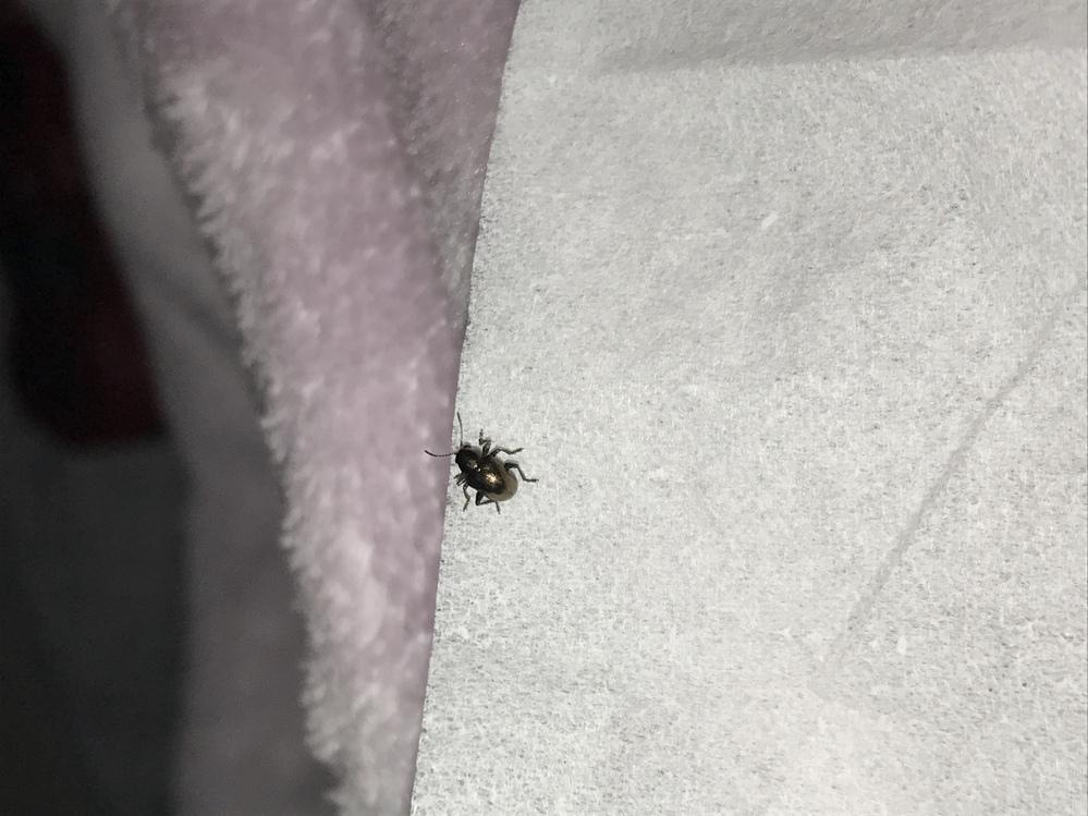 部屋に小さく光沢のある虫がいたのですが、 何だが分かる方いらっしゃいますか? 3mmくらいで足が6本あります。