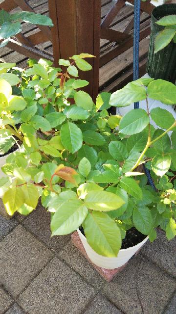 教えて下さい。 バラ初心者です。 去年、ポールセザンヌを大苗で購入しました。 当初は大輪で沢山咲いてくれましたが、秋頃から元気がなくなり、今年の冬剪定の時に鉢替えしたらコガネムシに根をやられていました。 すぐに鉢を少し小さくして、肥料の入っていない培養土に植え替え、水を控えがちにしてマルチングしました。 その後、1ヶ月程してからゆっくり効いてくるマイローズばらの肥料を撒きました。 その他...
