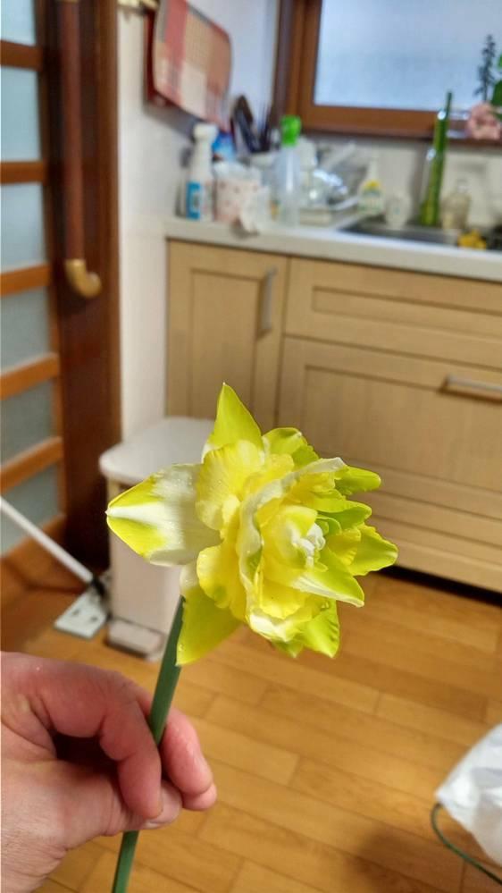 この水仙の品種は何でしょうか? タヒチを植えたつもりだったのですが緑がかった花が咲きました。