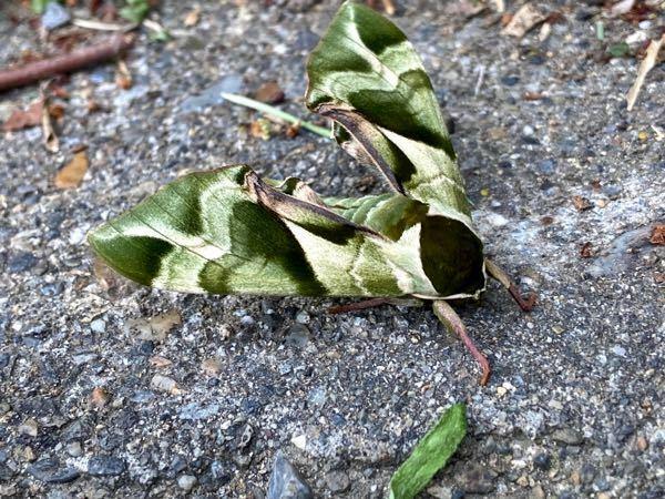 昨日見つけましたこの蛾はなんて名前ですか? 抹茶ラテみたいで綺麗でした