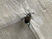 この虫の名前を教えて下さい。今、芝生を低空飛行して飛び回っています。大量発生して困っています(ToT)