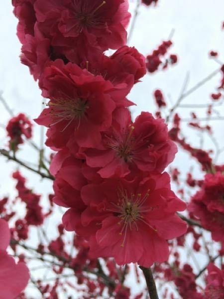 お花や木々に詳しい方、教えて下さい。 梅の花でしょうか。