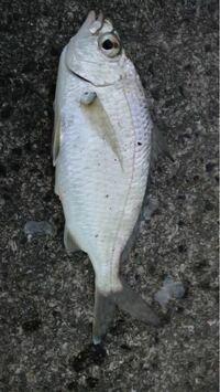 これは何という魚ですか?