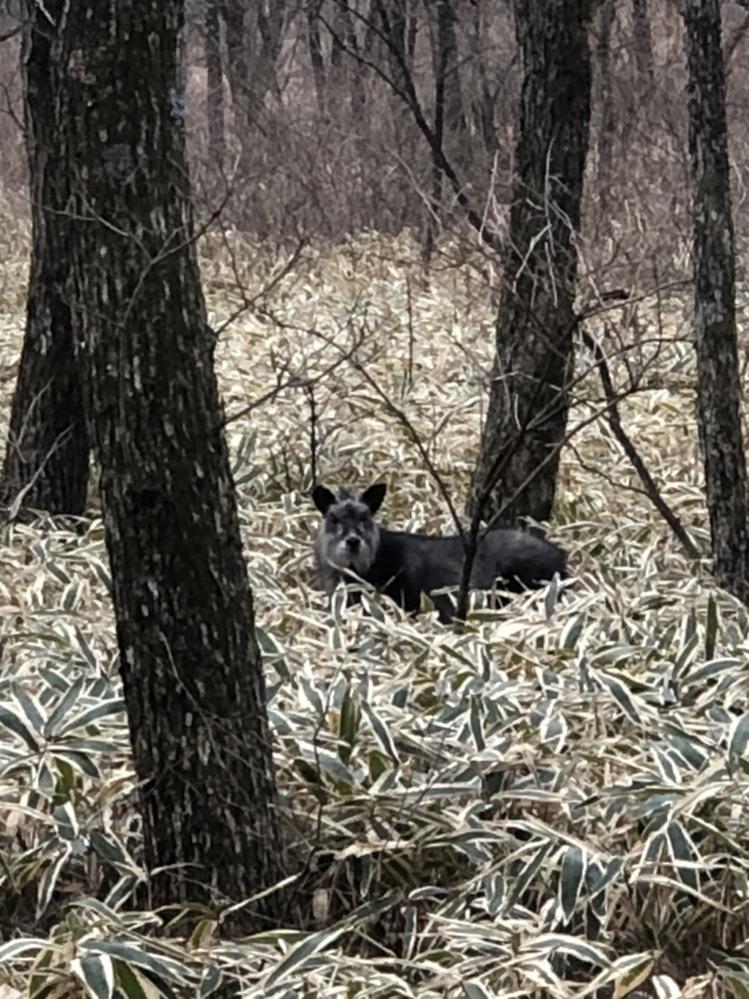 この動物なんですか? 今年1月に群馬の榛名湖に向かう山道で居たので写真撮ったんですが、なんでしょう? 鹿でもないし、犬にしたら毛が猪みたいにゴワゴワしてるし、、 こちらが写真撮ってる間も...