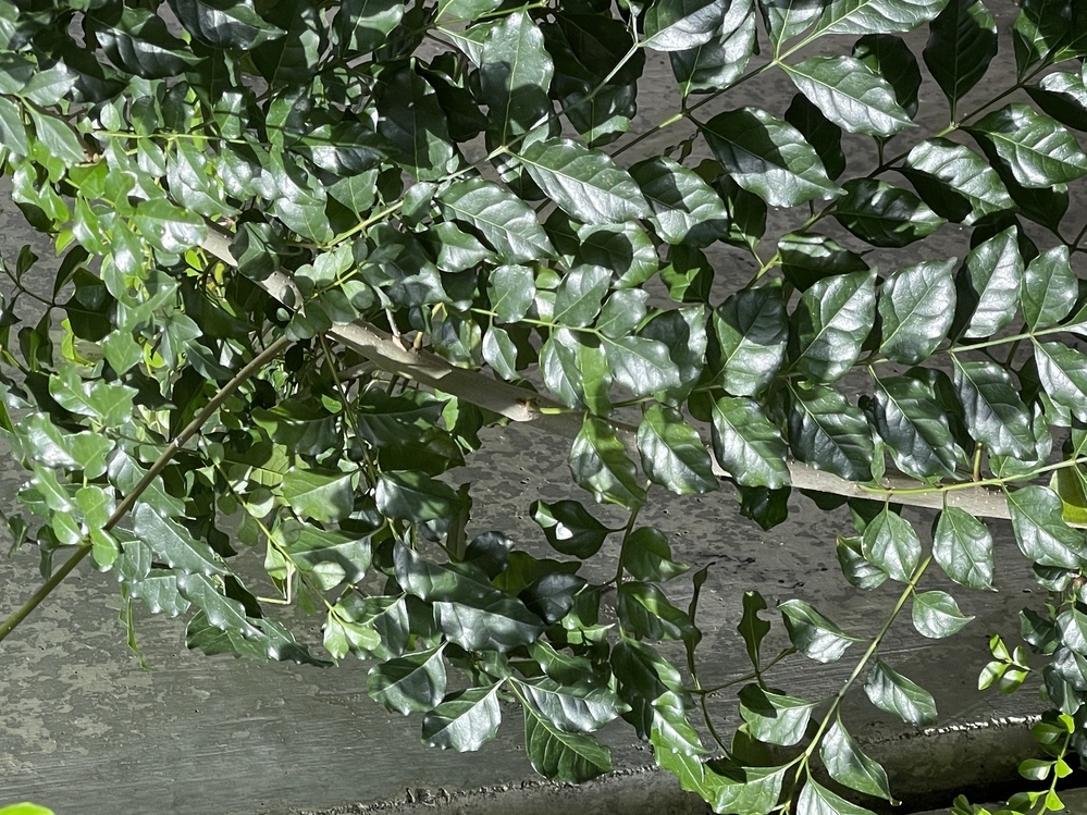自宅のお庭の裏側で知らないうちに育っていた植物です。この木の名前はなんでしょうか? 詳しい方よろしくお願いしますm(_ _)m