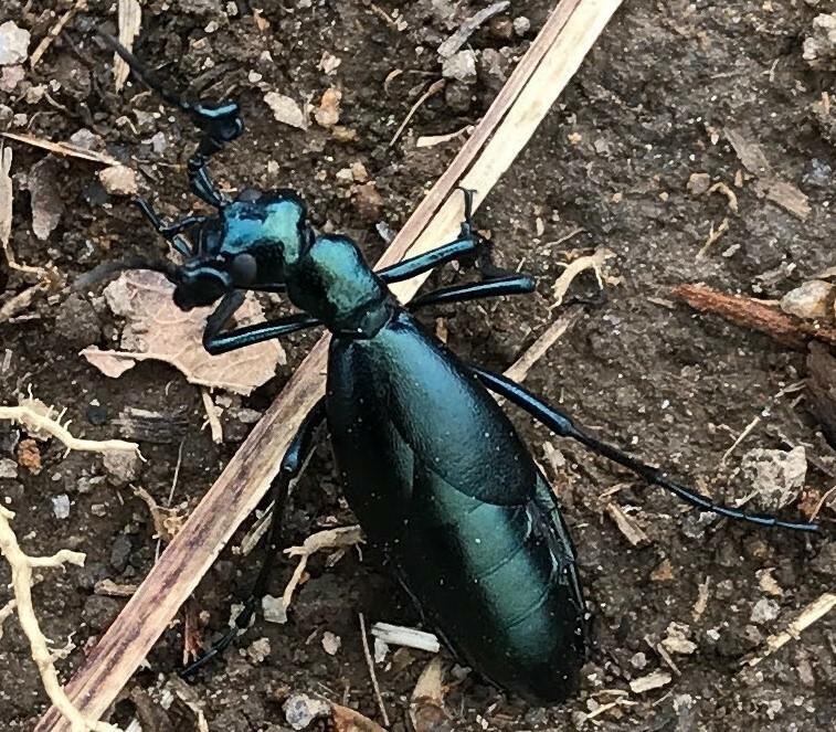 この綺麗な虫について教えて下さい。 九州の500m級の山で見つけました。 名前がわかりません。 何匹も地面を歩いていましたが、一匹も飛んでいませんでした。 よく見ると翅らしきものがありますが、この小さな翅で果たして飛べるのか疑問に思いました。