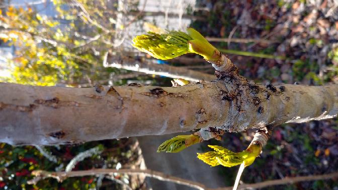 この植物はたらの芽ですか? たらの芽はトゲがあったと思いますが、これにはトゲがありません。
