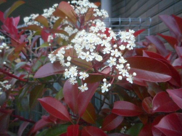 何ヶ所かで生垣に使われています。 花は小手毬、或いはシモツケのように見えるのですが、紅葉もあるためにわからなくなってしまいました。 名前をお分かりの方、教えてください。