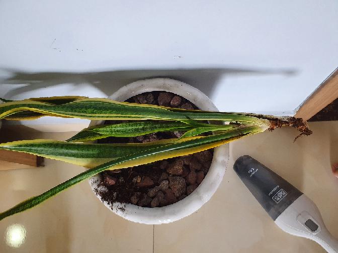 少し目を離していたらベビーカーから手を伸ばしてこの観葉植物を少しガジカジしてました。 食べてはいないと思いますが噛んだ後はあります。 この植物は毒性はありますでしょうか?