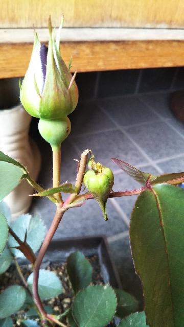バラ これは何の仕業でしょうか?蕾やられました! まだ小さい苗、難しかったのがようやくなんとか育ち、初めてついた蕾… 花を見たいととても楽しみにしてました。 2つなので株に負担か?1個取ろうか?...