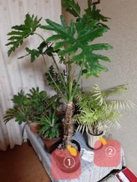 植物の名前を教えて欲しいです!! ①と②の植物の名前を教えてほしいです。 名前も分からないまま何年も育ててます。  それと②には水をあげても枯れてる?感じになるのですがどうしてでしょうか?  よろしくお願いいたします!