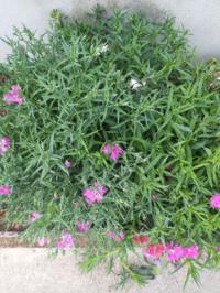 去年植えたなでしこがあまり花を咲かせません 葉や茎はしっかりしていて、蕾も沢山ついているのですが。。。あまり手入れをしてなかったので雑草化してるみたいに生い茂ってしまい  初心者なので、詳しく教えてく...