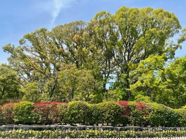 京都の金閣寺の木がものすごく高いんですが、これは何の気でしょうか?