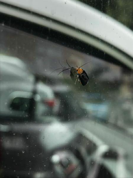 車の窓にいた虫の正体を知りたいです。 蛍かな?と思ったんですが違いますか?