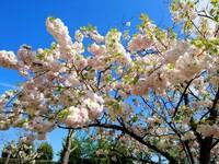 花の名前を知りたいです! 学校へ行ったらこの花が咲いていて、とても綺麗で写真を撮りました。 「桜のように見えるけど桜ってこんなにもっさりしてたっけ?」と思い、ネットで調べてみて、自分的には「子福桜」...