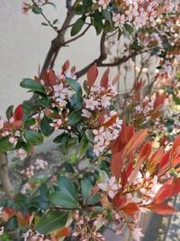 この花木の名前を教えて下さい! 今日ご近所を散歩していて撮ったものです。