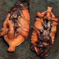 カブト虫の蛹についての質問です。 今日人工蛹室(70〜80ミリサイズ)で幼虫が脱皮して蛹になった雄ですが、写真の様にツノが曲がって口の辺りにツノがあります。 成虫になったら、昆虫ゼリーを吸えないのでしょうか?そのままにしていても大丈夫でしょうか?  それから、胸〜腹部分の中央の黒いフチのグニュグニュネチョネチョ(?)した粘膜の様な(牡蠣の身の様な痰の様な…)部分は、これは何でしょうか?
