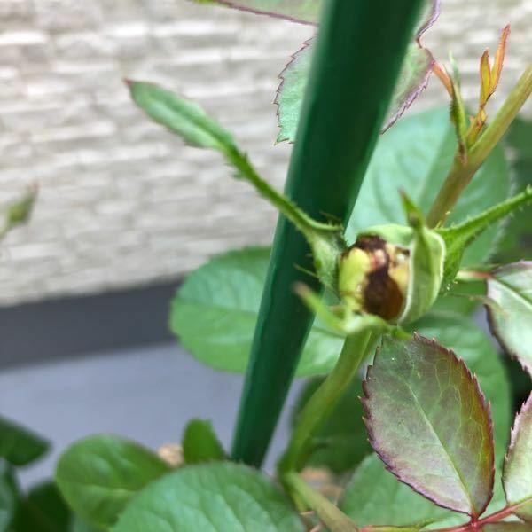 バラの蕾がこんな感じに茶色っぽくなっていますが、枯れているのでしょうか 品種はブルーバユーです。 まだ新苗で、ホントは蕾を摘んだ方が良いと思うのですが花が見たくて取らずにいました。 咲かないから摘んでしまおうと思ってご質問でした。 アドバイス宜しくお願い致します。