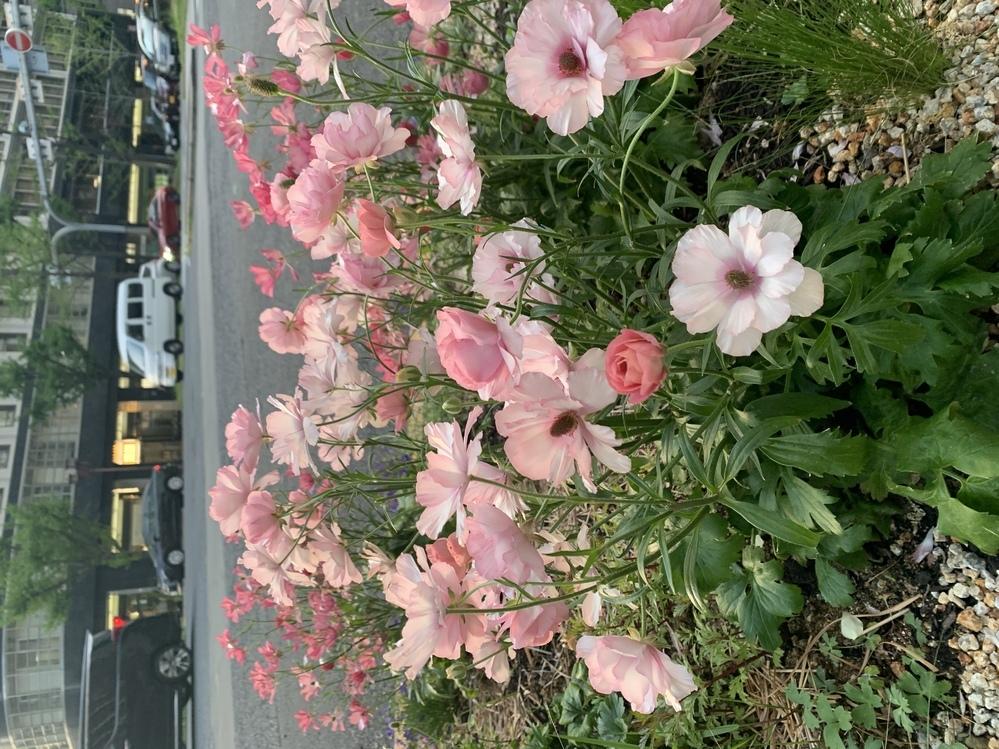 このお花の名前は何でしょうか。日に当たると、花びらがガラスのようですごく綺麗です。 写真を撮ったら花の名前が分かるアプリで調べたら、撮り方によりアネモネ、ラナンキュラス、ヒナゲシとバラバラな答えが出て、どれも違うような気がします。 毎朝癒されるこのお花の名前が知りたいです。 よろしくお願いします。