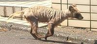 この子は犬でしょうか? 市街地で野良で走ってたんですが犬?