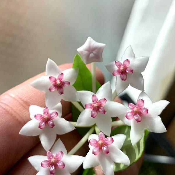 これはなんていう花ですか?
