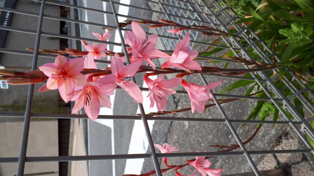 散歩中に見つけました。 この花は何という花でしょうか? ご存じの方、お教えください。 すみません、写真が横を向いてしまいました。