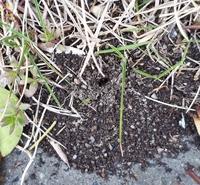 花壇の隅っこにこんな穴がありました。 穴の周囲が富士山のように盛り上がっています。 蟻の巣だと思うのですが、駆除した方がいいでしょうか? それとも放置してよいものでしょうか?