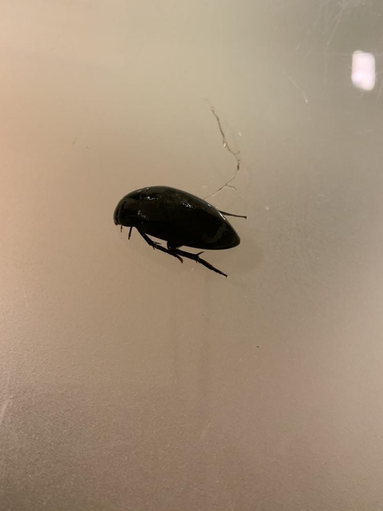 この虫はゲンゴロウですか?妹がとってきました。